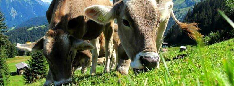 austrian cows on meadow