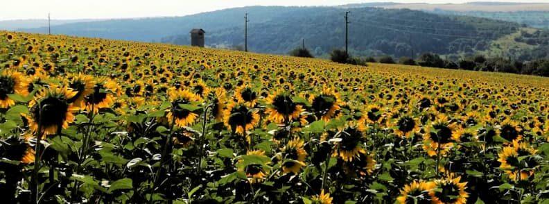 day trip from bucharest to lovech sunflower fields