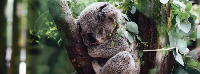koala kangaroo island best time to explore australia