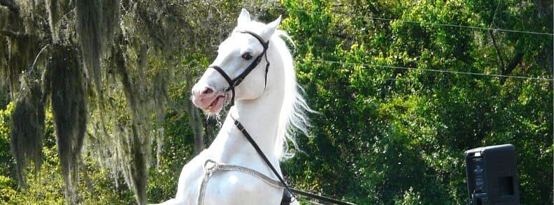 lipizzaners horse