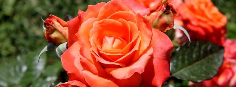 roseto comunale rose garden in rome