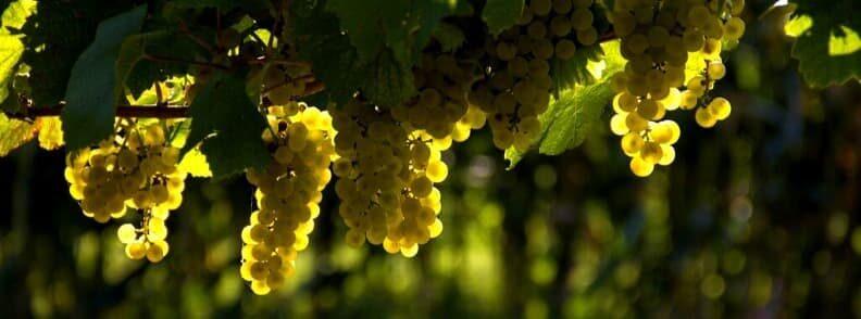 styria austria wine region grapes