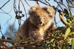 2-hour koala hiking Kangaroo Island