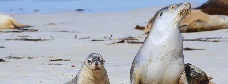 best time to see seals Kangaroo Island